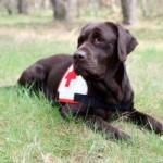 Ich bin Kelly, eine braune Labrador Retriever Dame. Ich wurde im April 2011 geboren und im November 2013 aus der Zucht entlassen. Bis dahin habe ich die Tage meines Lebens im Käfig verbracht und einige Würfe großziehen müssen. Völlig ausgemergelt landete ich dann bei Tierschützern, die mich an mein Herrchen H.-O. vermittelten. Bis März 2014 hatte ich Zeit, mich auf das Leben in Freiheit einzustellen. Danach begann die spannende Ausbildung zum Rettungshund, die mir sehr viel Spaß bereitet.