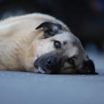 Ich bin Shorty. Geboren wurde ich am 13.11.2009. Ich bin ein ziemlicher großer Hund - aber total verschmust. Behaupten jedenfalls die Menschen. Ich bin seit einigen Jahren in der Rettungshundestaffel als geprüfter Flächensuchhund tätig. Habe die Menschen so weit gebracht, dass ich bei meinen Suchen immer die leckersten Leckerlis finden darf. Habe einfach so getan, als ob ich sonst keinen Bock zum Suchen habe. Hat voll gut geklappt! Ich laufe gerne am Fahrrad. Liege aber genauso gerne faul rum.